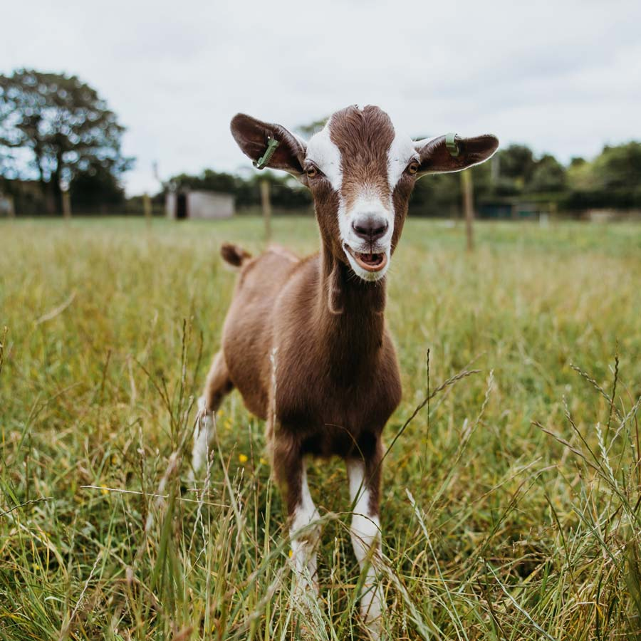 Douet Farms goat